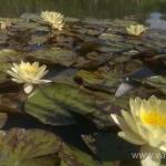 Geltona vandens lelija (Water lily) 'Nymphaea Yellow' 08
