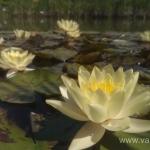 Geltona vandens lelija (Water lily) 'Nymphaea Yellow' 10