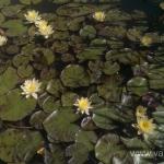 Geltona vandens lelija (Water lily) 'Nymphaea Yellow' 11