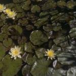 Geltona vandens lelija (Water lily) 'Nymphaea Yellow' 12