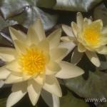 Geltona vandens lelija (Water lily) 'Nymphaea Yellow' 15