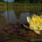 Geltona vandens lelija (Water lily) 'Nymphaea Yellow' 17