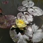 Geltona vandens lelija (Water lily) 'Nymphaea Yellow' 18