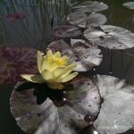Geltona vandens lelija (Water lily) 'Nymphaea Yellow' 19