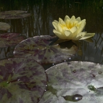 Geltona vandens lelija (Water lily) 'Nymphaea Yellow' 20