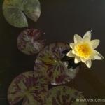 Geltona vandens lelija (Water lily) 'Nymphaea Yellow' 21