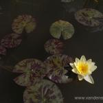 Geltona vandens lelija (Water lily) 'Nymphaea Yellow' 22