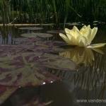 Geltona vandens lelija (Water lily) 'Nymphaea Yellow' 23