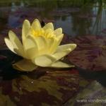 Geltona vandens lelija (Water lily) 'Nymphaea Yellow' 24