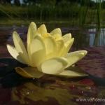 Geltona vandens lelija (Water lily) 'Nymphaea Yellow' 25