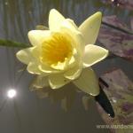 Geltona vandens lelija (Water lily) 'Nymphaea Yellow' 28