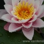 Rožinės vandens lelijos 04