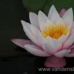 Rožinės vandens lelijos 08