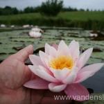 Rožinės vandens lelijos 12