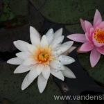 Rožinės vandens lelijos 14