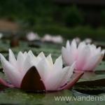 Rožinės vandens lelijos 15