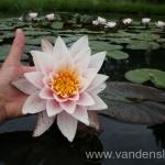Rožinės vandens lelijos 21