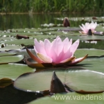 Rožinės vandens lelijos 31