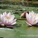Rožinės vandens lelijos 32