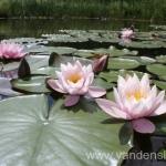 Rožinės vandens lelijos 34