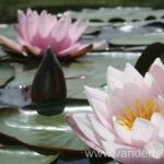 Rožinės vandens lelijos 36