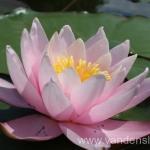 Rožinės vandens lelijos 38