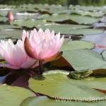 Rožinės vandens lelijos 41