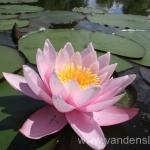 Rožinės vandens lelijos 45