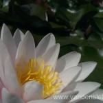 Rožinės vandens lelijos 58