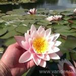 Rožinės vandens lelijos 70