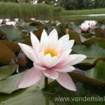 Rožinės vandens lelijos 80