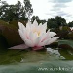 Rožinės vandens lelijos 88