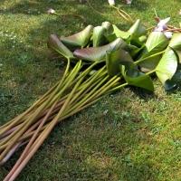 Skinti-vandens-leliju-ziedai-12