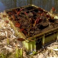 Vandens-leliju-sodinimas_2019-04-17-11.31.51