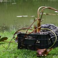 Vandens-leliju-sodinimas_IMG_7308