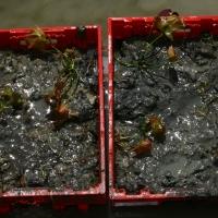 Vandens-leliju-sodinimas_lelijos_-034