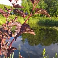 Vandens-leliju-tvenkiniai-2017-07-07-19.55.05