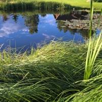 Vandens-leliju-tvenkiniai-2017-07-07-19.57.18