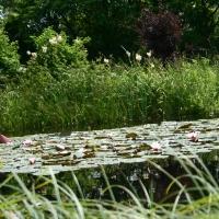Vandens-leliju-tvenkiniai-IMG_4627