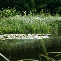 Vandens-leliju-tvenkiniai-IMG_4628