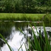Vandens-leliju-tvenkiniai-IMG_4639