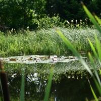 Vandens-leliju-tvenkiniai-IMG_4643