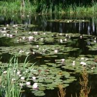 Vandens-leliju-tvenkiniai-IMG_4656