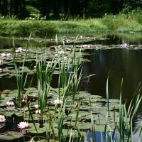 Vandens-leliju-tvenkiniai-IMG_4658